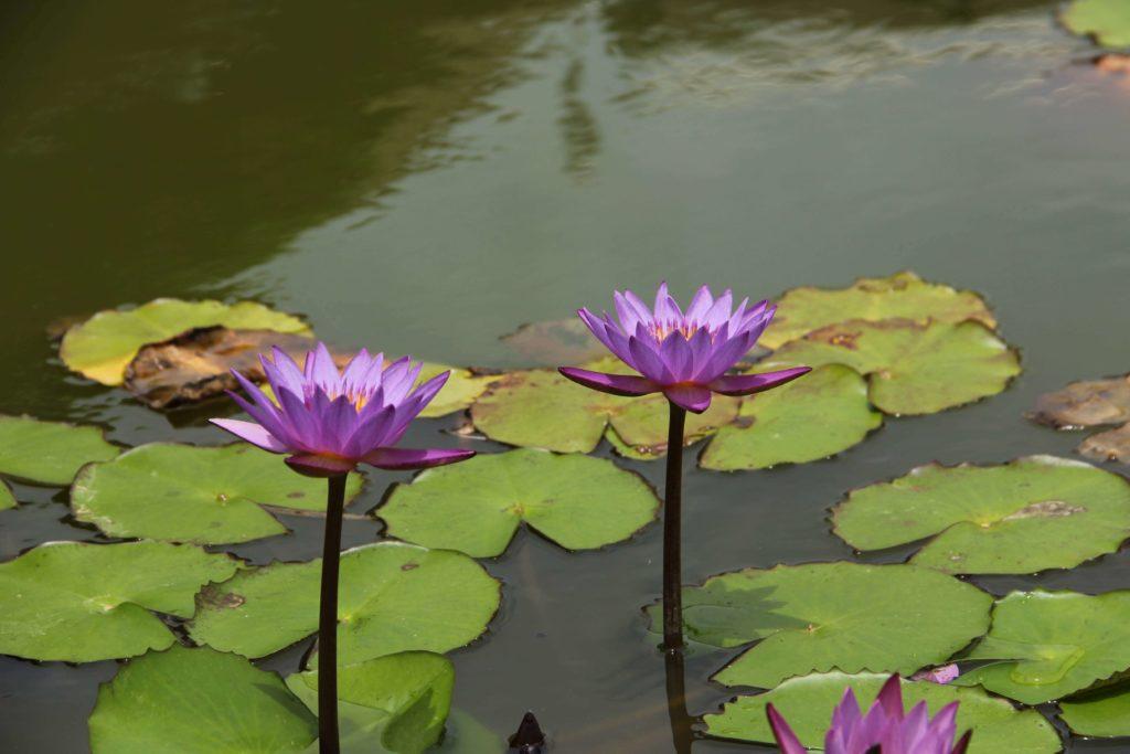 『東南植物楽園』5月下旬の蓮の花